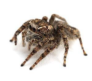 jumping-spider0