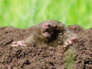 mole-hill-300x225