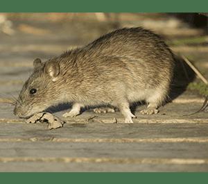 norway-rat