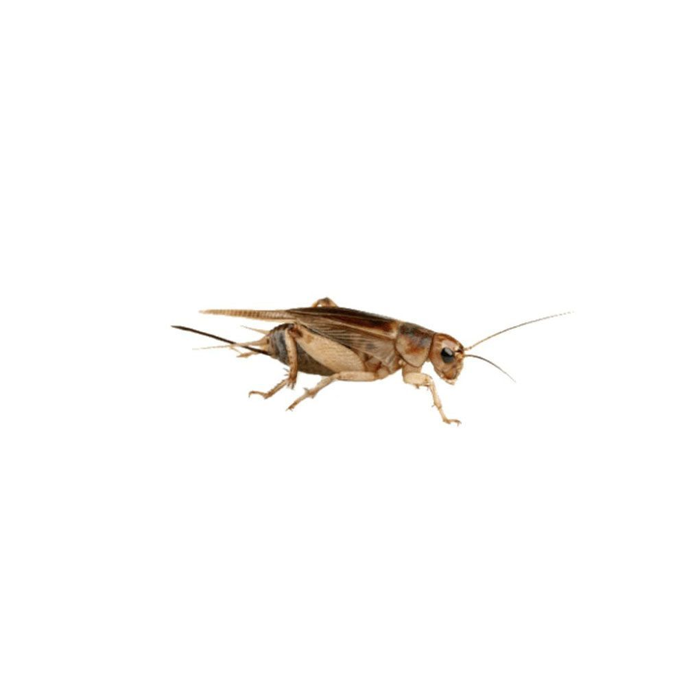 pest-library-crickets