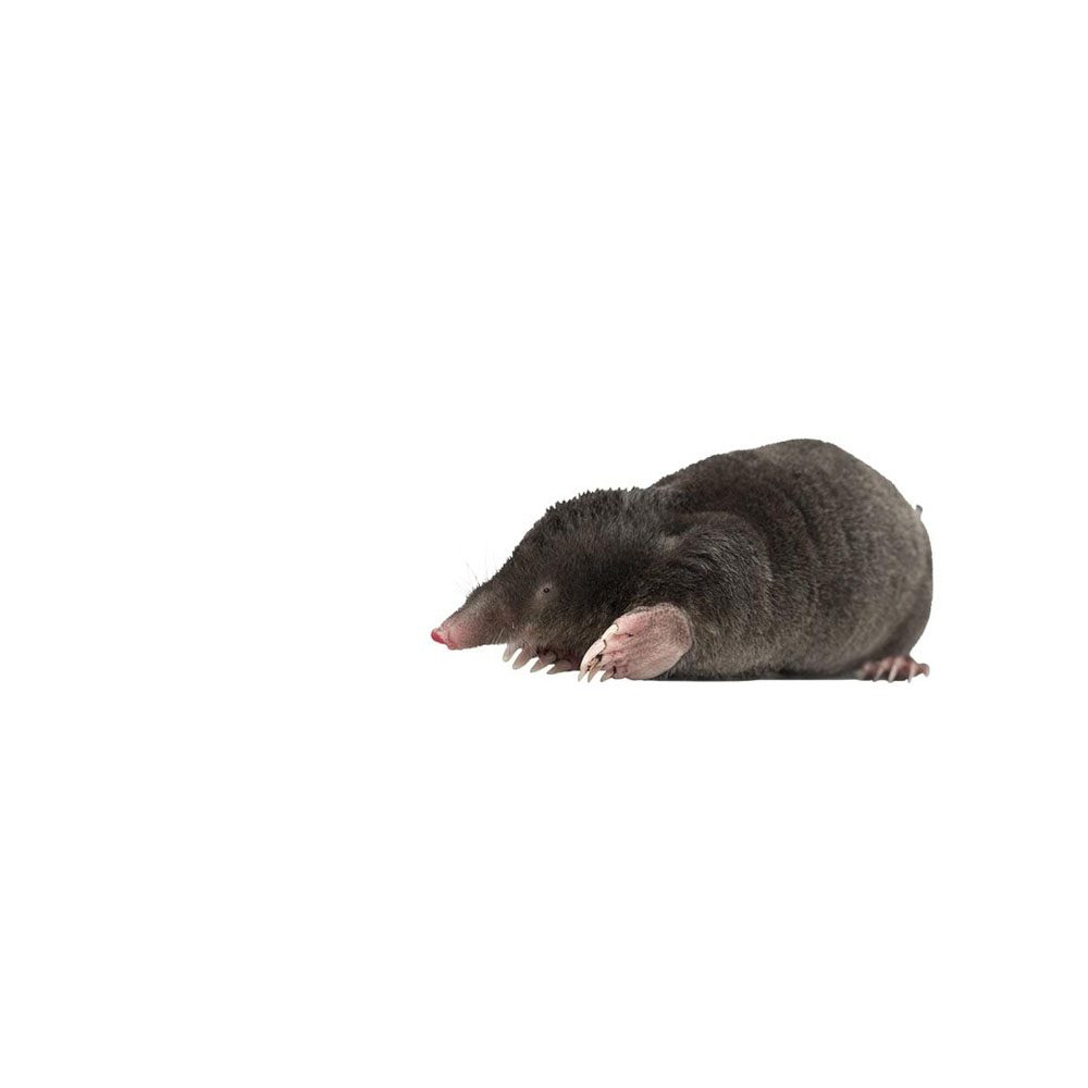 pest-library-mole