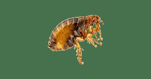 pest-type-flea