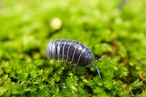 pillbug-sowbug