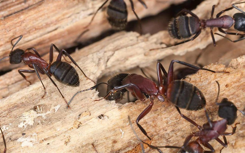 a group of carpenter ants on a piece of wood