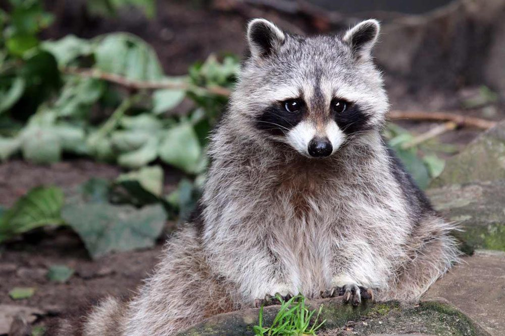 a raccoon in the wild