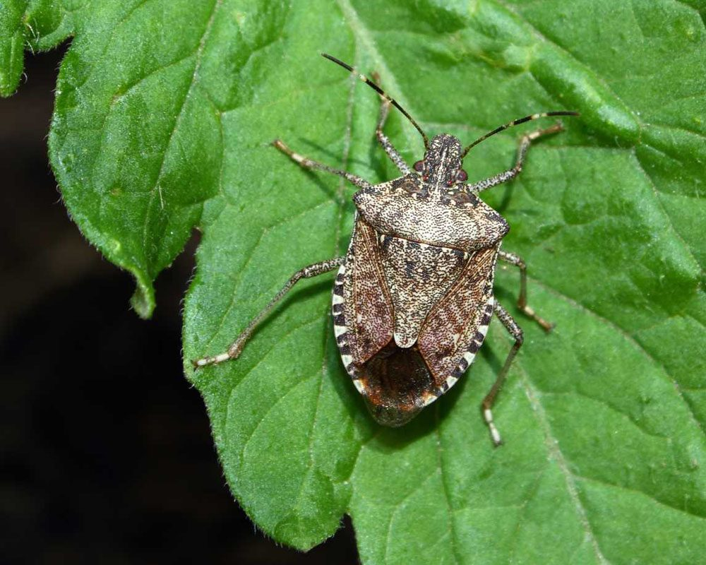 a close-up image of a stink bug sitting on a tomato leaf