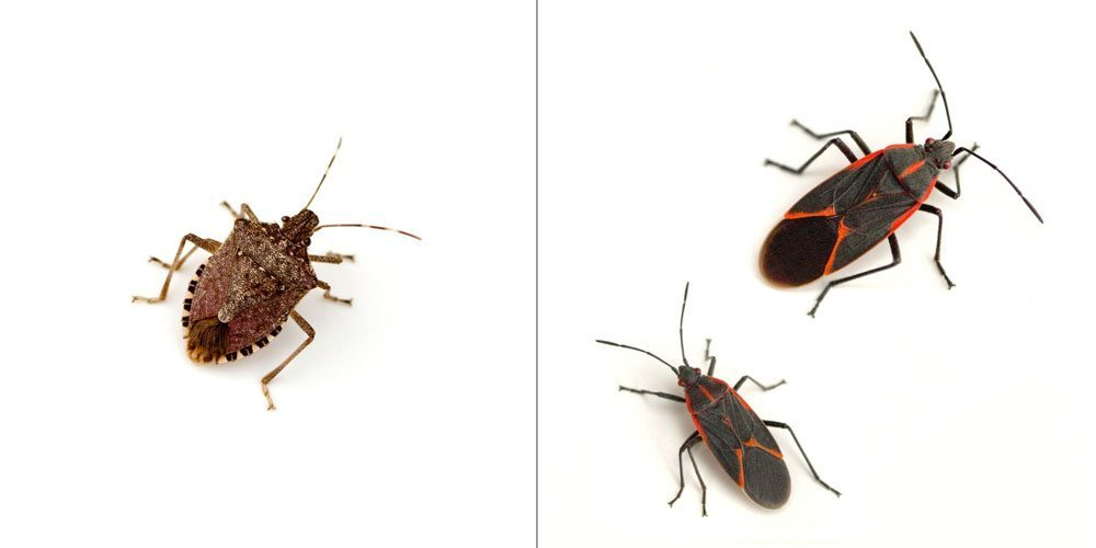 a stink bug on the left and a pair of boxelder bugs on the right on a white background