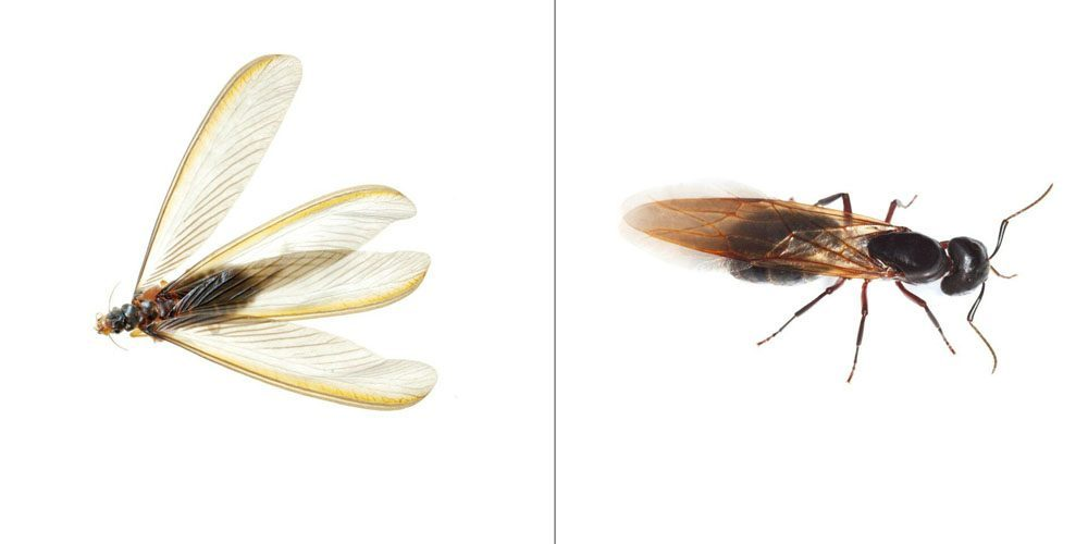 a flying ant on the right and a termite on the left on a white background