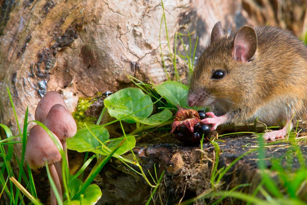 autumn scene with mouse eating a raspberry